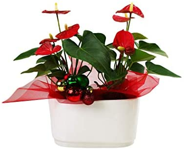 Just Add Ice JAI353 Holiday Anthurium Planter Christmas Décor or Gift, Easy Care Live Plants, White Pot, Red