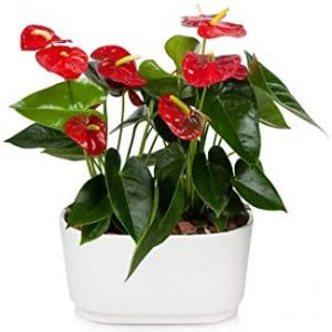 Just Add Ice JAI300 Anthurium Planter Easy Care, Beautiful Live Plants, 10