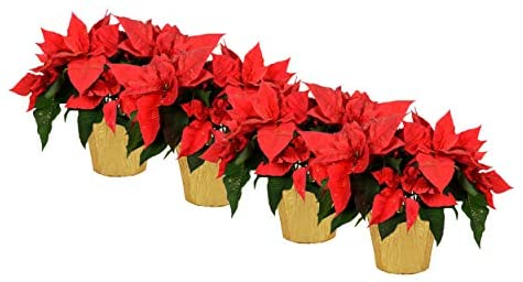 """The Three Company Live 6.5"""" Poinsettias (4 Per Pack) - Christmas Red, Live Flowering"""