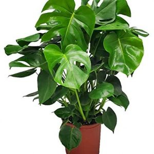 Monstera Delicioso - Swiss Cheese Plant - 3 Gallon Pot - Overall Height 22