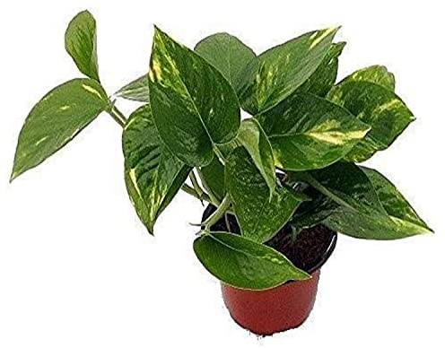 """Golden Devil's Ivy - Pothos - Epipremnum - 4"""" Pot - Very Easy to Grow Live Plant Ornament Decor for Home, Kitchen, Office, Table, Desk - Attracts Zen, Luck, Good Fortune - Non-GMO, Grown in the USA"""