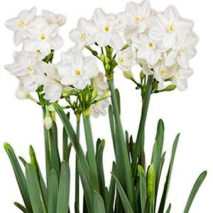 10 Paperwhites Ariel, Size Extra Large Paperwhites for ForcingGrown in Israel! - Best Quality - Indoor Blooming & Fragrant!
