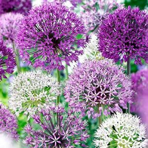 Allium Purple Blend 30 Bulbs-4-6 Inch Flower Diameter!