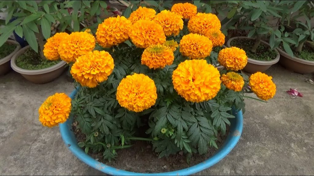 Marigold flower garden tips to grow more flowers (With English Subtitle)