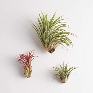 Shop Succulents | Live Air Plants Hand Selected Assorted Variety of Species, Tropical Houseplants for Home Décor and DIY Terrariums, 3-Pack