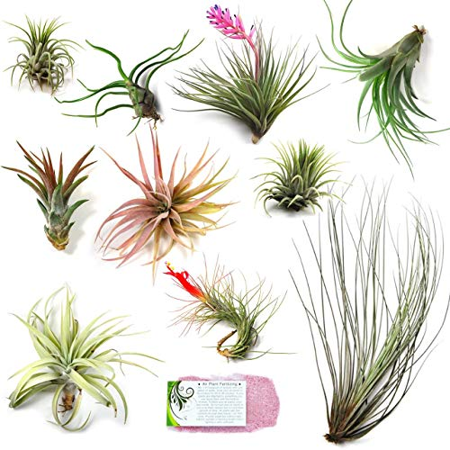 Air Plant Shop's Grab Bag of 10 Small + Medium Plants + Fertilizer Packet - Free PDF Air Plant Care eBook with Every Order - House Plants - Air Plant Variety - Fast Shipping from Florida