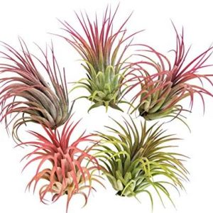 5 Large Air Plants Tillandsia Ionantha Variety - Live Tropical House Plants for Home Decor, DIY Terrariums