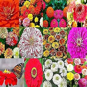 Big Pack - (2,000+) Zinnia Rainbow Mix - Flower Seeds By MySeeds.Co (Big Pack - Zinnia Mix)