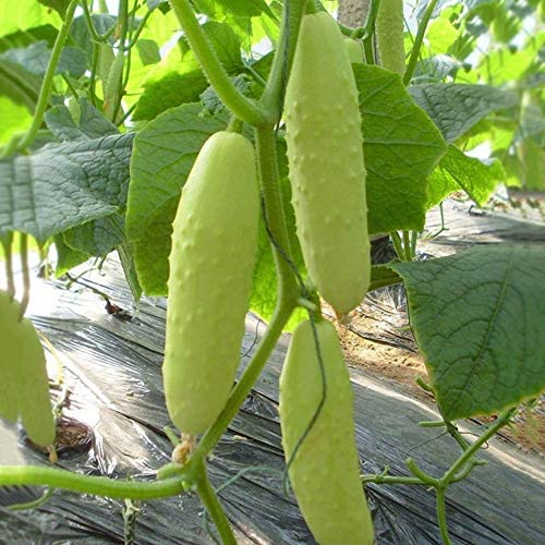 Long Chinese Cucumber White Delicacy About 10 Seeds
