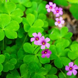 Oxalis Iron rubra Bulbs Good Luck Plant Fast Growing Year Round Color Indoors or Outdoors for Plant 10g Bulbs About 2~8 Bulbs