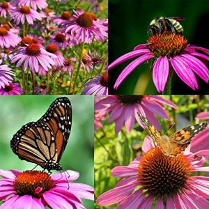 Purple Coneflower, 5300+ Echinacea Seeds for Planting, Non-GMO, Heirloom Flower Seeds