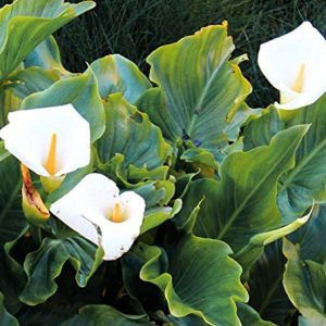 Rare 100 Pcs White Calla Lily Seeds Bonsai Potted Plant Perennial Flowers
