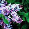 Rare 25 Pcs Multicolored Lilac Seeds Extremely Fragrant Flower Garden Decor