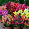 Seeds Snapdragon Mix Low Dwarf Annual Outdoor Garden Flower for Planting Heirloom Non GMO