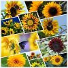 Sunflower Seeds for Planting-Autumn Beauty- Outdoor Mixture Bulk 23+ Varieties Bulk Package of 1.200+ Seeds, (Helianthus annuus) Non-GMO