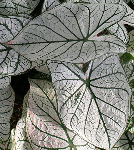 (10) Colorful Shade Loving Fancy Caladium White Christmas Bulbs for Growing Your Own Caladium Plants