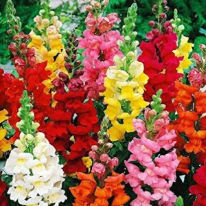 100+ Mixed Snapdragon Flowers Seeds Tall Garden Pretty Flower Annual Outdoor