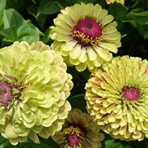 150 Zinnias SẸẸDS for Grówing Outdoor | 3 Set Queen Lime Zinnias Red Blush Orange - Flọwer SẸẸDS