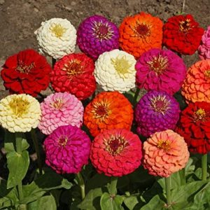 Outsidepride Zinnia Elegans Lilliput Flower Seed Mix - 1000 Seeds