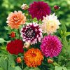 Dahlia Flower Seeds 50+ Giant Flower Colorful Mixed Seeds for Home/Garden/Yard/Farm Planting