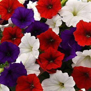 Outsidepride The Flag Easy Wave Petunia Flower Seed Mix - 30 Seeds