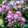 Rare 2G Mixed Columbine Flower Seeds for Plant in Your Garden