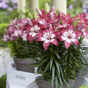 Van Zyverden 83469 Set of 7 Lilies Perfect Joy for Patio and Containers 7 Bulbs, 16/18 cm, Red and White
