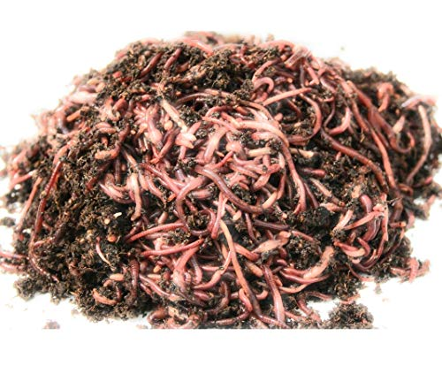 WWJD Red wigglers- 500 Count Live composting Worms