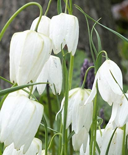 (2) White Meleagris Lily Bulbs, Spectacular Flowering Perennials, Roots,Rhizomes, Bulbs, Plants, Flower