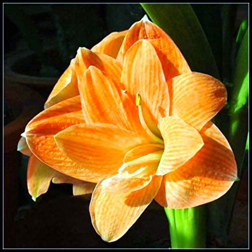 Amaryllis Bulbs for Planting Perennial,Planted in The Yard Bonsai Mysterious Flower Pleasant Outdoor Exotic,Yellow,1 Bulb