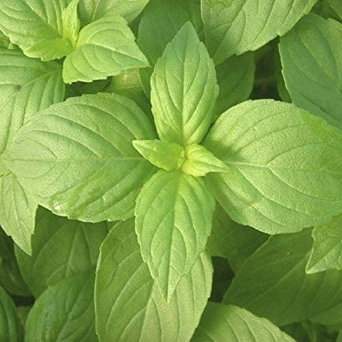 Lemon Basil Seed - 100 Count Seed Pack - Non-GMO - A Unique herb with The The Essence of Lemon and The Sweet Anise Flavor of Basil. - Country Creek LLC
