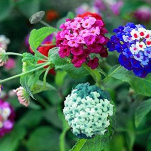 Liliya's Lantana Mix - 50+ Flower Seeds to Plant - Made in USA, Ships from Iowa. Very Good Butterfly Plant