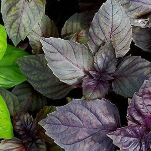 Red Rubin Basil Seeds - 100 Count Seed Pack - Non-GMO- A Beautiful Reddish-Purple herb with a Delightful Aroma. - Country Creek LLC