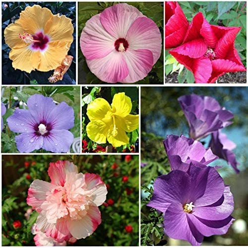 Rare Mixed 100 Pcs Hibiscus Flower Seeds Perennial Exotic Plant for Home