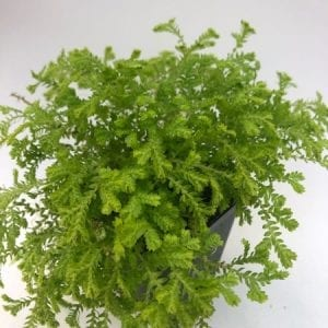 golden club moss