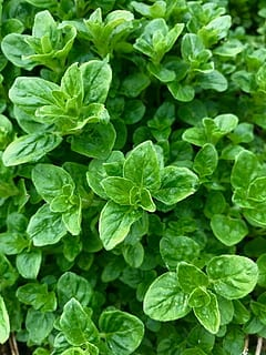 oregano garden remedies