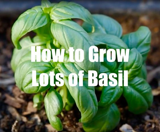 Growing Herbs in Your Square Foot Garden