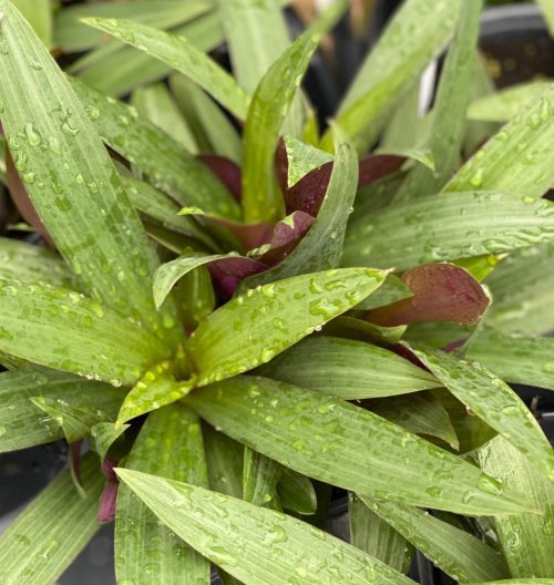 Tradescantia spathacea, Purple and Green